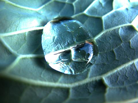 Agua sobre Repollo (Brassica Oleraceae)